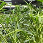 菁菜園於桃園的室內土耕栽培區。