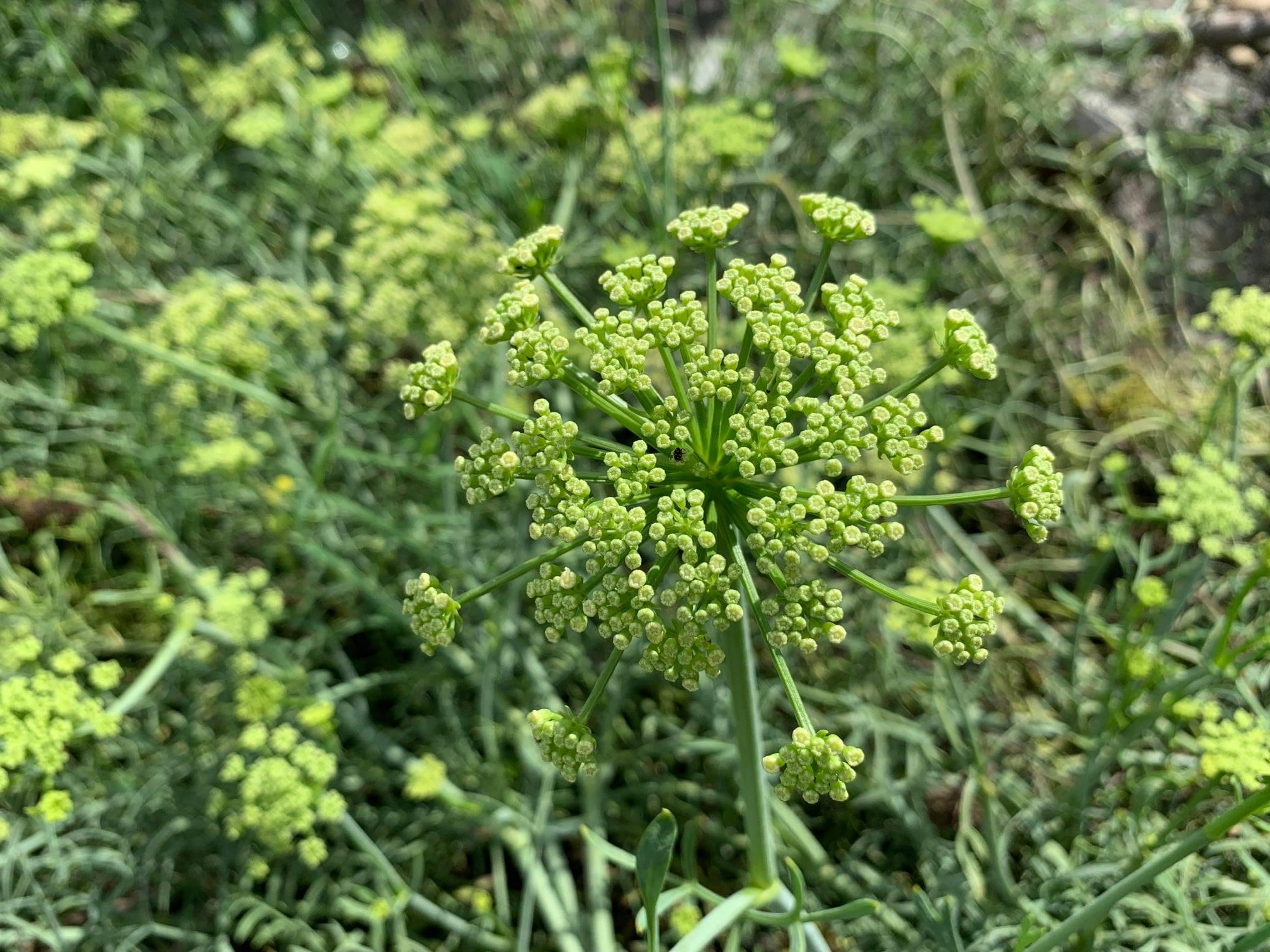菁菜園於彰化的自然農耕海茴香開花實照。