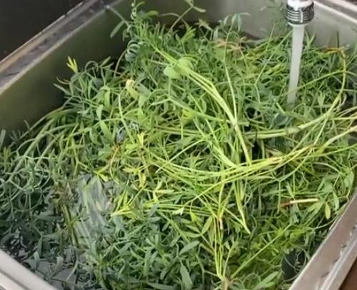 海茴香蒸餾