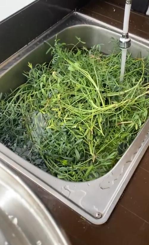 海茴香,海茴香蒸餾